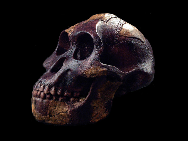 Crâne de Lucy (Australopithecus afarensis)