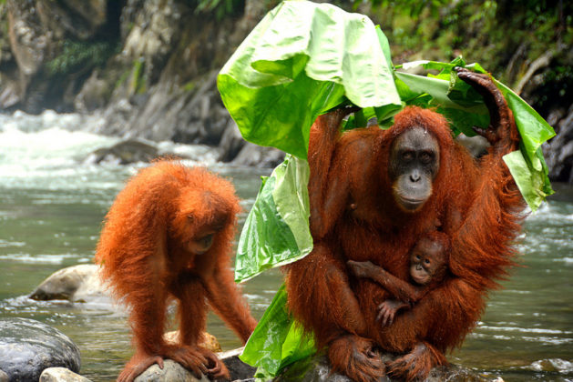 Famille d'orangs-outangs