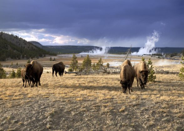 bisons yellowstone