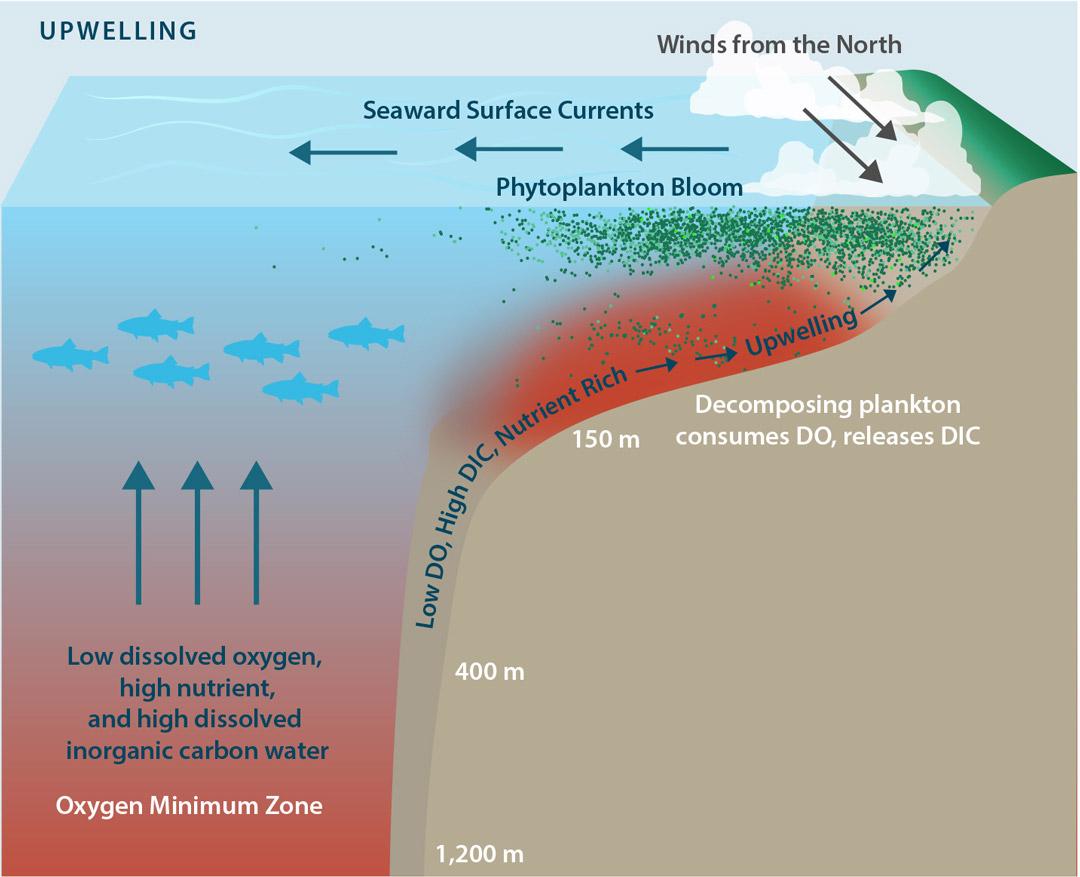 Schéma théorique détaillant la formation des efflorescences de phytoplancton dans le cadre du phénomène d'upwelling.